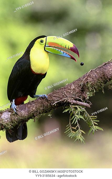 Keel-billed Toucan expelling seed - La Laguna del Lagarto Lodge - Boca Tapada, San Carlos, Costa Rica