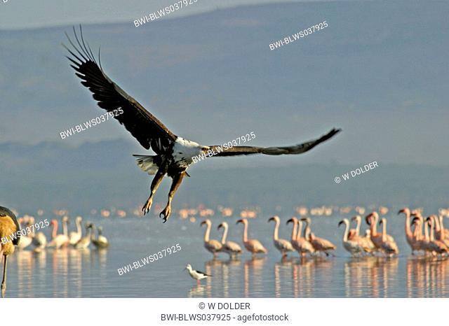 African fish eagle Haliaeetus vocifer, landing, flamingos in background, Kenya, Nakuru NP