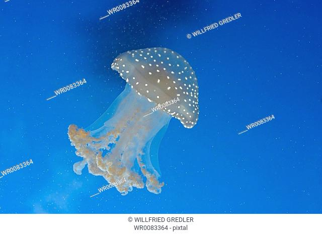 White-spotted jellyfish Phyllorhiza punctata in the House of the sea Vienna