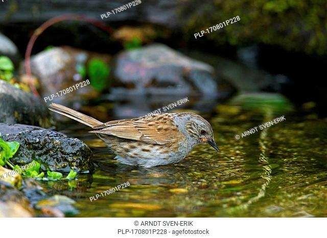 Dunnock / hedge accentor / hedge sparrow / hedge warbler (Prunella modularis) bathing in shallow water of brook