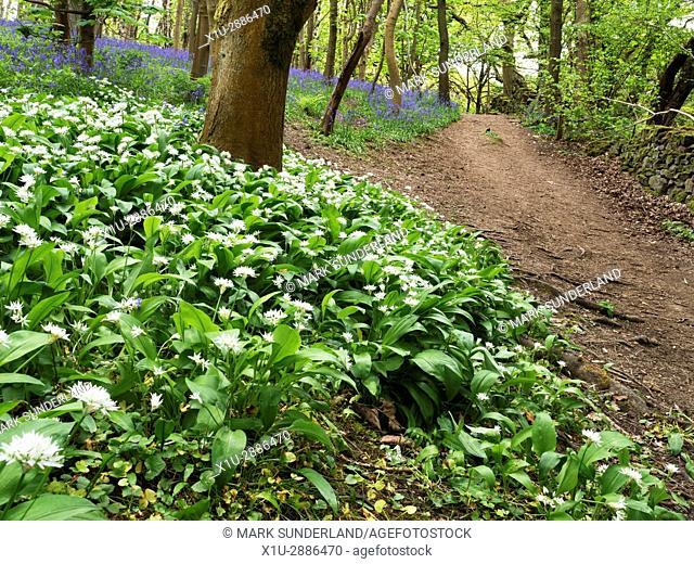 Wild Garlic Flowers and Bluebells at Middleton Woods near Ilkley, West Yorkshire, England
