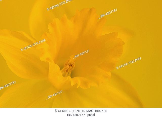 Yellow wild daffodil (Narcissus pseudonarcissus), Detail, Germany