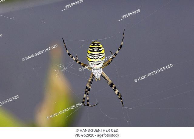 GERMANY, UNKEL, 22.8.2008, A wasp spider (Argiope bruennichi) is sitting in its net. - UNKEL, RHINELAND-PALATINATE, GERMANY, 22/08/2008