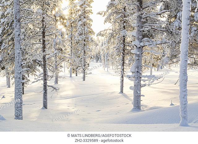 Winter landscape in direct light, snowy spruce trees and plenty of snow, Gällivare, Swedish Lapland, Sweden