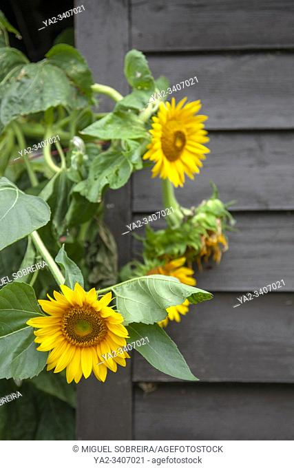 Sunflowers Against Shed