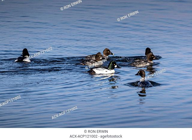 Common Goldeneye (Bucephala clangula) flock on Lake Wolsey, Manitoulin Island, Ontario, Canada
