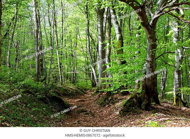 France, Puy de Dome, Parc Naturel Regional des Volcans d'Auvergne (Regional Nature Park of the Volcanoes of Auvergne), forest of beech tree