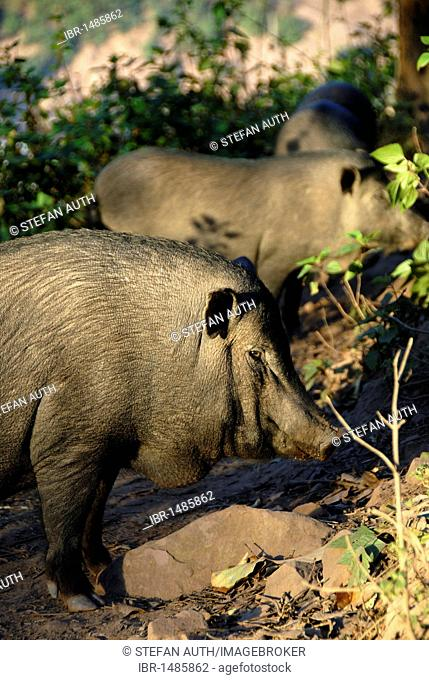 Pot-bellied pig (Sus scrofa f. domestica), pig, Ban Moxoxang village, Phongsali district and province, Laos, Southeast Asia, Asia