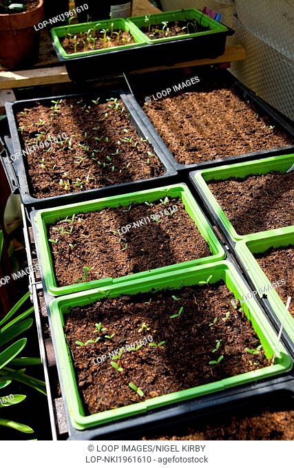 Marigold seedlings in seed trays
