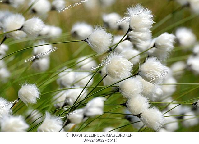 Blooming Hare's-tail Cottongrass, Tussock Cottongrass or Sheathed Cottonsedge (Eriophorum vaginatum), Inntal, Voralpenland, Raubling, Upper Bavaria, Bavaria