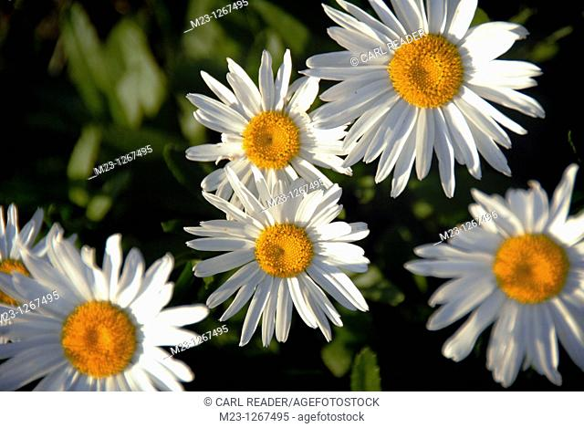 Daisies peer out at the morning sun