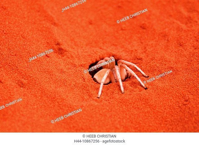 Dancing White Lady, Spider, Sand Dunes, Dunes Lodge, Wolwedans Lodge, Namib Rand Nature Reserve, Hardap Region, Namibia, Africa, Travel, Nature