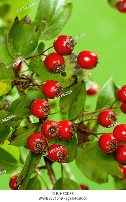 common hawthorn, singleseed hawthorn, English hawthorn (Crataegus monogyna), branch with ripe fruits, Germany