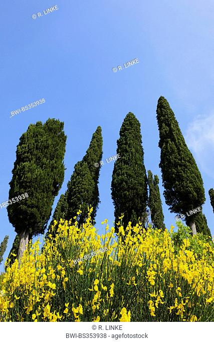 Italian cypress (Cupressus sempervirens), looming row of trees, Italy, Tuscany, Siena