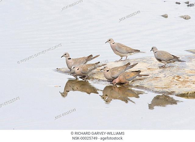 Cape Turtle Doves (Streptopelia capicola) and one Laughing Dove (Streptopelia senegalensis) standing on a rock at the water's edge showing their reflections and...