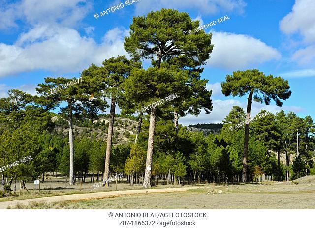 European Black Pine or Corsican pine (Pinus nigra), El Vallecillo, Sierra de Albarracin, Teruel