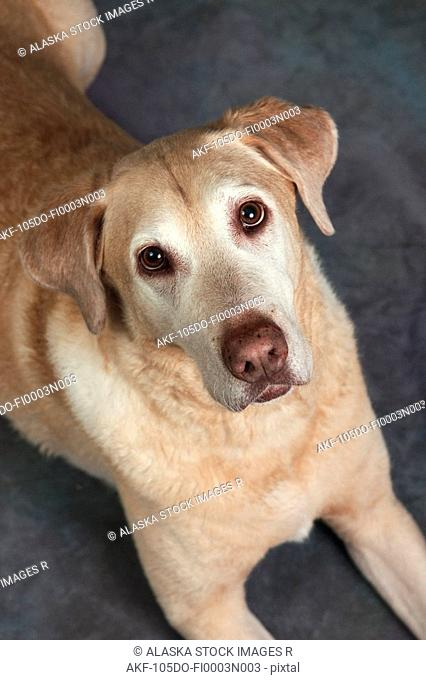 Studio Portrait of Yellow Labrador Retriever Alaska