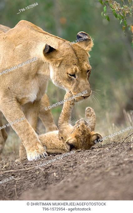 African Lion and Cub Panthera leo leo iucn status - vulnerable mother and child masaimara kenya