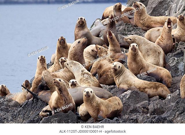 Group of Steller Sea Lions congregate on a haul out on an island in the Shelikof Strait near Geographic Harbor, Katmai National Park, Southwest Alaska, Summer