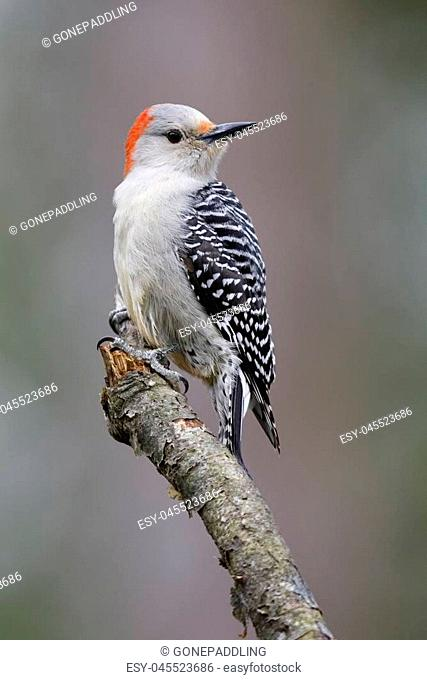 Female Red-bellied Woodpecker (Melanerpes carolinus) perched on a tree branch