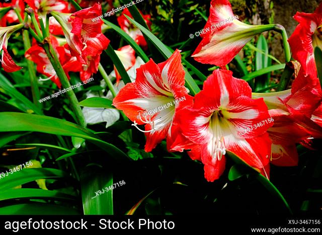 Flower in the garden, Red and White Striped amaryllis, Cameron Highlands, Malaysia