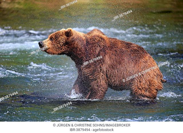 Grizzly Bear (Ursus arctos horribilis) adult, in the water, shaking , Brooks River, Katmai National Park and Preserve, Alaska, United States