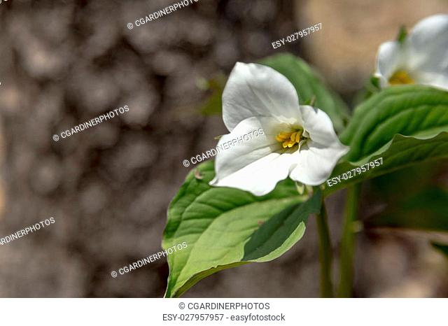 Trillium, Official Flower of Province of Ontario, Canada