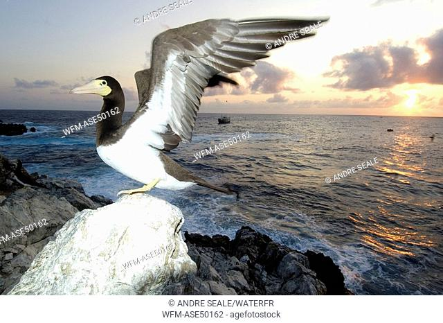 Brown booby, with wings open, Sula leucogaster, Saint Peter and Saint Paul Rocks, Atlantic Ocean, Brazil