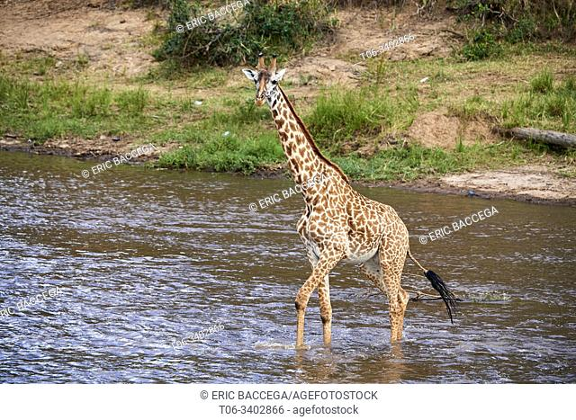 Masai giraffe (Giraffa cameleopardalis tippelskirchi) crossing Mara river. Masai Mara National Reserve, Kenya
