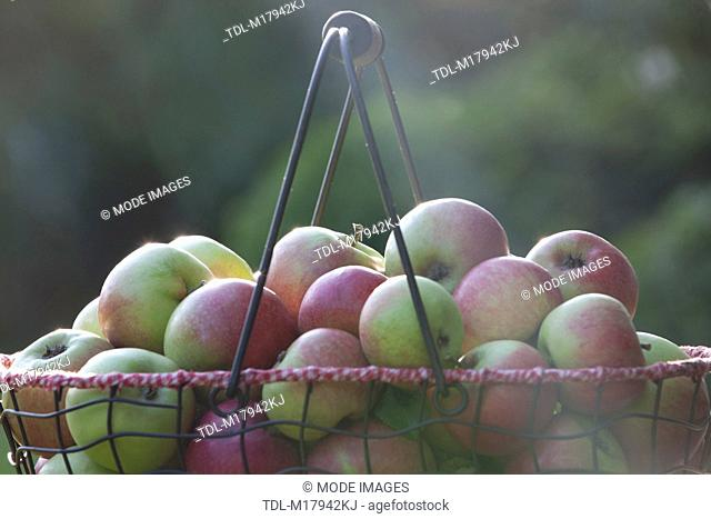 A basket of apples in the evening sun, close up