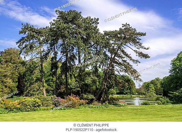 Austrian pine / black pines (Pinus nigra subsp. nigra) coniferous evergreen tree, native to Austria