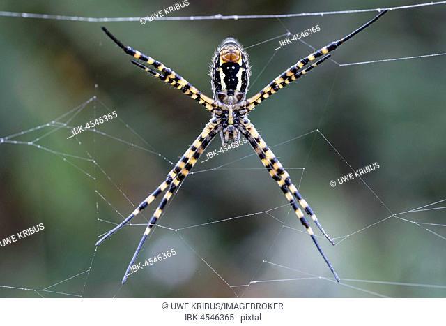 Wasp spider, Wasp spider (Argiope bruennichi) in the net, bottom, southwest coast, Madeira, Portugal