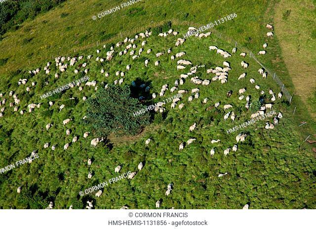 France, Puy de Dome, Parc Naturel Regional des Volcans d'Auvergne (Natural regional park of Volcan d'Auvergne), Orcines, flock of sheep on volcano Puy des...