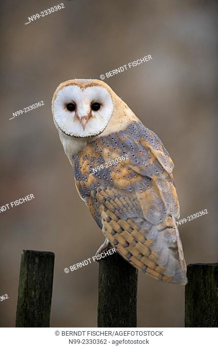 Barn owl (Tyto alba), perching on fence, Czech Republic