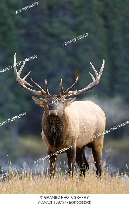 Bull elk, Cervus elaphus, bugles on chilly autumn morning, Jasper National Park, Alberta, Canada