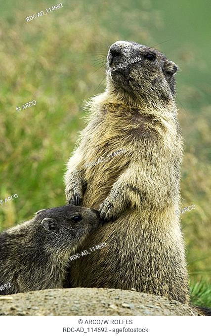 Alpine Marmot with young Grossglockner national park Hohe Tauern Austria Marmota marmota alps