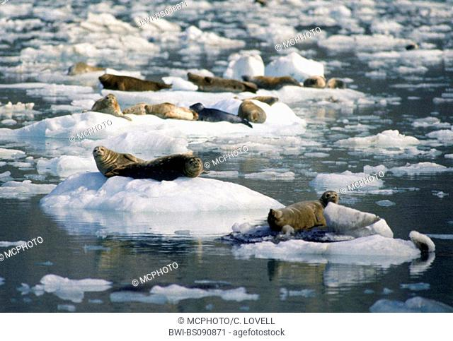 harbor seal, common seal (Phoca vitulina), resting on ice floes, USA, Alaska, Glacier Bay National Park