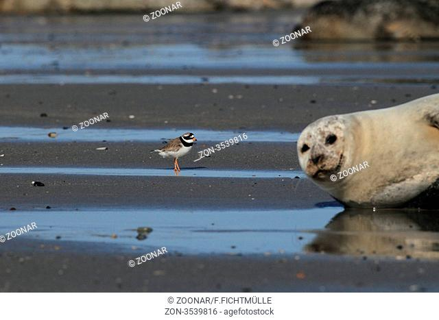 Sandregenpfeifer und Seehund