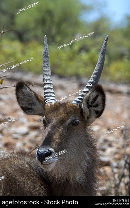 Portrait of a young male Waterbuck antelope (Kobus ellipsiprymnus) in the Ongava Game Reserve, south of the Etosha National Park in northwestern Namibia