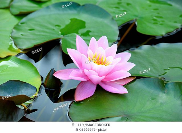 Water Lily (Nymphaea), Baden-Württemberg, Germany