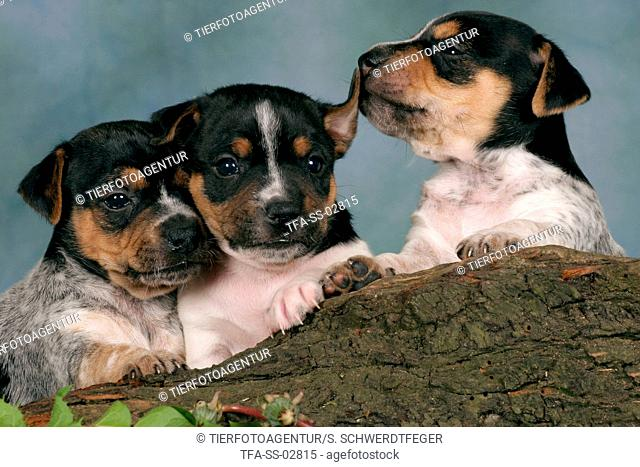 3 cute Jack Russell Terrier puppies