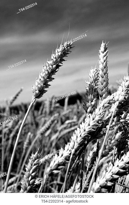 A ripe ear of wheat in a field in Bavaria, Germany