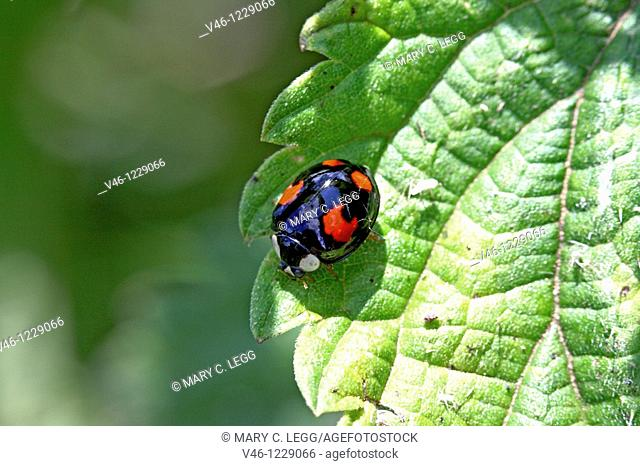 Harlequin Ladybird, Harmonia Axyridis black version  A black Harlequin with four red spots on back and white cheek patches imitates the black 2spot  Note the...