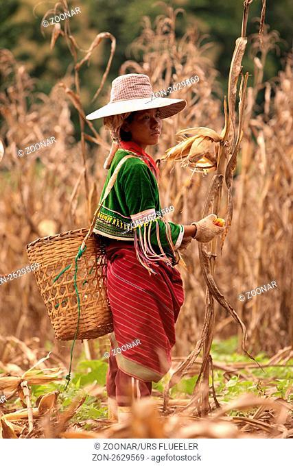 Traditionell gekleidete Frau von einem Stamm der Dara-Ang bei ernten von Maiskolben in einem Maisfeld beim Dof Chiang Dao noerdlich von Chiang Mai im Norden von...
