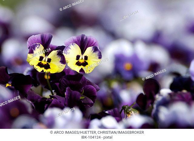 Pansies (Viola hybrida)