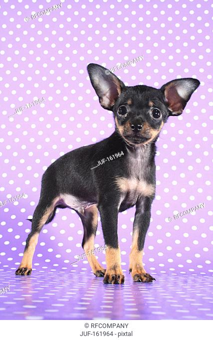 Russian Toy Terrier dog - puppy - standing