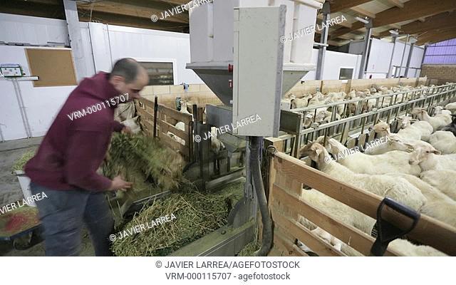 Farmer feeding sheep on farm, Latxa breed, Gomiztegi Baserria, Arantzazu, Oñati, Gipuzkoa, Basque Country, Spain