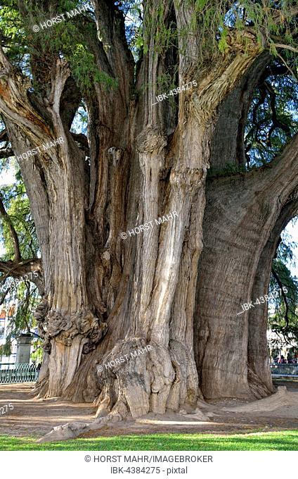 Arbol del Tule, cypress (Taxodium mucronatum), thickest tree in the world, Santa Maria del Tule, Oaxaca, Mexico