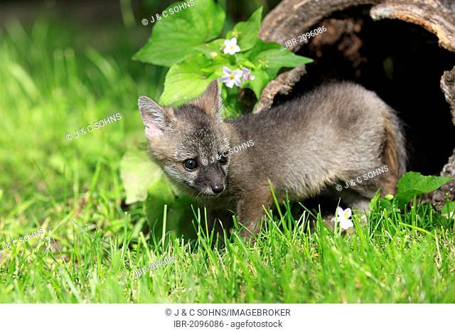 Gray fox (Urocyon cinereoargenteus), kit, nine weeks old, Montana, USA, North America