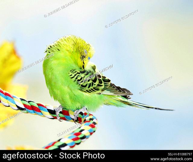 Budgerigar, Budgie (Melopsittacus undulatus). Green adult sleeping on a multicolored cord. Germany